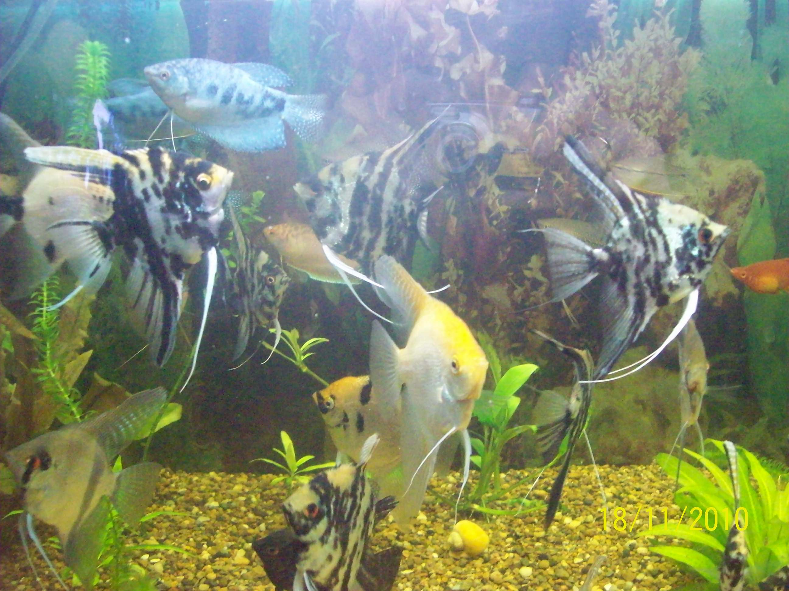 Кого можно сажать с золотыми рыбками 550